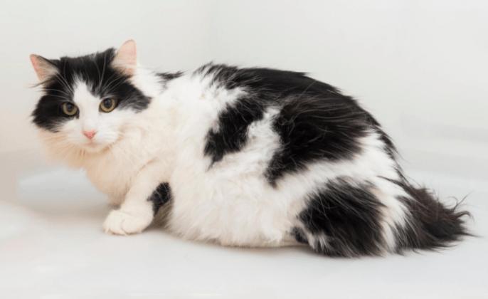 cara merawat kucing anggora hamil dan baru lahir