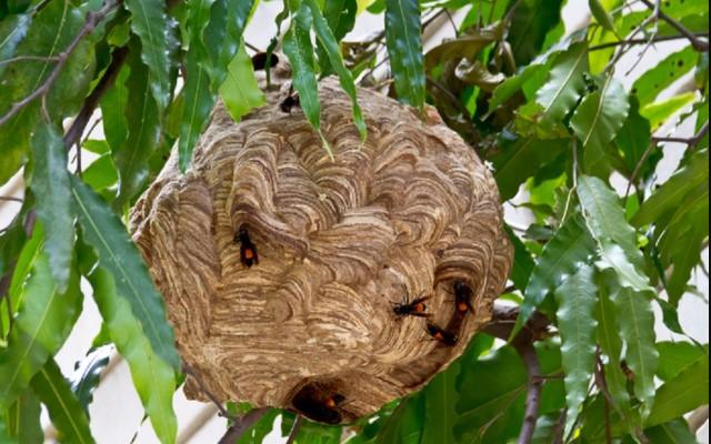 sarang tawon vespa affinis atau tawon ndas