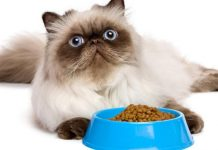 makanan kucing persia yang bagus untuk bulu