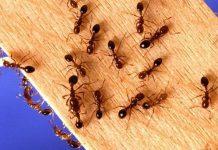 mengusir semut merah di rumah