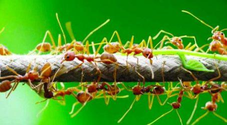 manfaat semut rangrang bagi tanaman