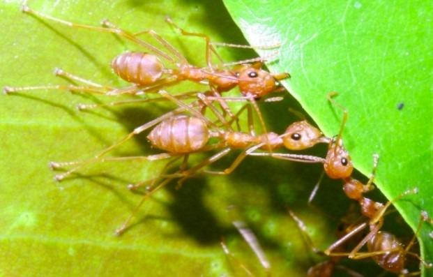 manfaat semut rangrang untuk tanaman