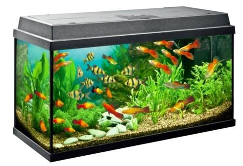 Community Tank aquarium untuk arwana