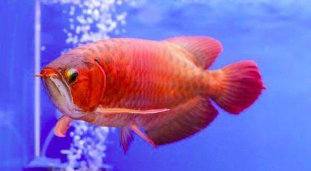 Persiapan Aquarium Untuk Arwana