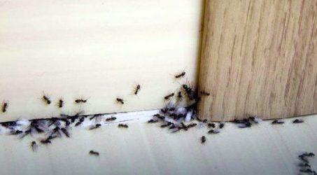 cara mengusir semut dalam islam